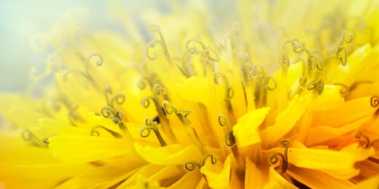 a close-up of a dandelion flower